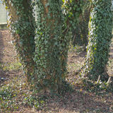 Zielona bluszcz roślina na drzewie zdjęcia royalty free