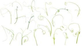 Zielona bluszcz roślina odizolowywająca na szarym tle, ścinek ścieżka royalty ilustracja