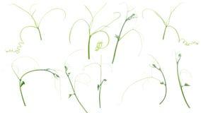 Zielona bluszcz roślina odizolowywająca na szarym tle, ścinek ścieżka fotografia royalty free