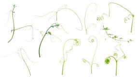 Zielona bluszcz roślina odizolowywająca na szarym tle, ścinek ścieżka obraz royalty free