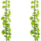 Zielona bluszcz roślina Fotografia Royalty Free