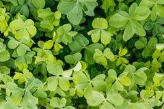 Zielona Bluszcza Ściany Tekstura Fotografia Stock
