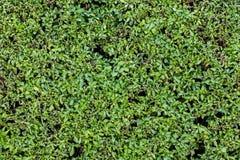 Zielona Bluszcza Ściany Tekstura Obraz Stock