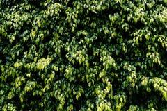 Zielona Bluszcza Ściany Tekstura Zdjęcia Royalty Free