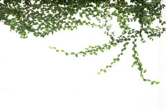 Zielona bluszcza pięcia figa odizolowywająca obrazy stock