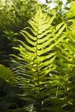 Zielona bracken roślina fotografia stock