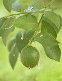 zielona branc lemon numer Obrazy Royalty Free