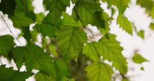 Zielona brzoza opuszcza poruszający na wiatrów ustalonych materiałach filmowych zbiory wideo