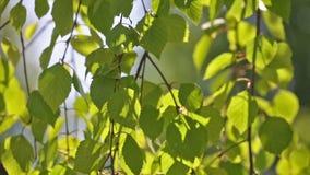Zielona brzoza opuszcza ruch przy wiatrem zdjęcie wideo