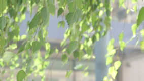 Zielona brzoza opuszcza w wiatrze w lecie zbiory