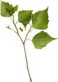 Zielona brzozy gałąź Fotografia Stock