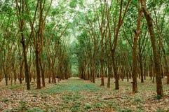 Zielona bujny Para gumowego drzewa plantacja w południowym Tajlandia zdjęcia royalty free
