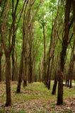 Zielona bujny Para gumowego drzewa plantacja w południowym Tajlandia obraz royalty free