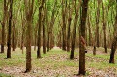 Zielona bujny Para gumowego drzewa plantacja w południowym Tajlandia obraz stock