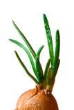 Zielona cebula zdjęcia royalty free