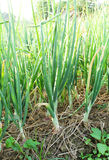 Zielona cebula na polu Zdjęcie Stock