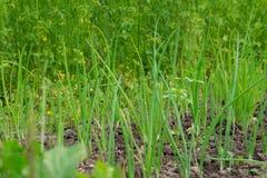 Zielona cebula opuszcza dorośnięcie na ogrodowych łóżkach obrazy royalty free