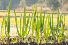 Zielona cebula w ogródzie Zdjęcie Royalty Free