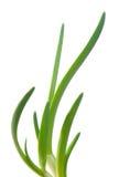 zielona cebuli Zdjęcia Royalty Free