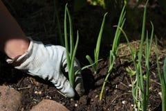 Zielona cebulkowa roślina z ogrodniczki ` s rękami Fotografia Royalty Free