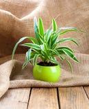 Zielona Chlorophytum roślina w garnku Zdjęcie Royalty Free