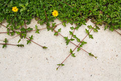 Zielona cierpnięcie roślina z żółtym kwiatem na betonowym tle Fotografia Stock