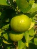 Zielona cytryna hangging w ogródzie Fotografia Royalty Free