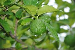 Zielona cytryna na drzewie Zdjęcie Royalty Free