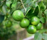 Zielona cytryna na drzewie w ogródzie Obrazy Stock