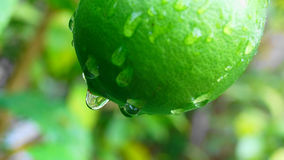 Zielona cytryna w japończyka ogródzie Obraz Stock