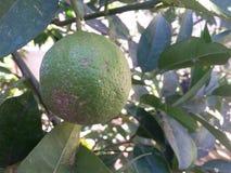 Zielona cytryny owoc na drzewie przy wiosna sezonem, narastająca cytryna Zdjęcia Stock