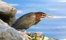 Zielona czapla Je ryba Fotografia Royalty Free