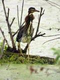 Zielona Czaplia szyja szeroko rozpościerać podczas polowania obrazy stock