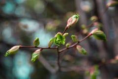 Zielona czuła brzoza opuszcza w Rosja kwitnieniu od pączków zdjęcie royalty free
