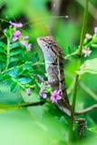 zielona czubata jaszczurka Zdjęcie Royalty Free