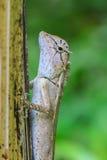 zielona czubata jaszczurka Obrazy Royalty Free