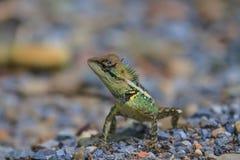 zielona czubata jaszczurka Zdjęcia Royalty Free