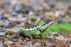 zielona czubata jaszczurka Zdjęcia Stock