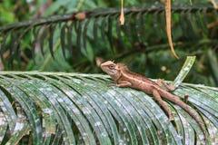 zielona czubata jaszczurka Fotografia Stock