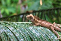 zielona czubata jaszczurka Obraz Stock