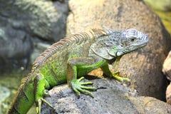 zielona czubata jaszczurka Fotografia Royalty Free