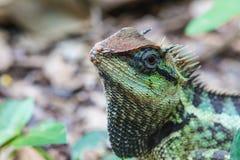 Zielona czubata jaszczurka, czarnej twarzy jaszczurka Obraz Stock