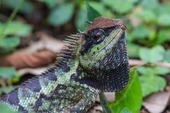 Zielona czubata jaszczurka, czarnej twarzy jaszczurka Zdjęcia Royalty Free