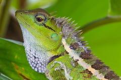 Zielona czubata jaszczurka, czarnej twarzy jaszczurka Obrazy Stock