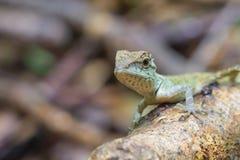 Zielona czubata jaszczurka, czarnej twarzy jaszczurka Fotografia Stock