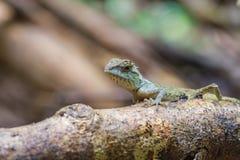 Zielona czubata jaszczurka, czarnej twarzy jaszczurka Fotografia Royalty Free
