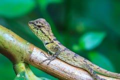 Zielona czubata jaszczurka, czarnej twarzy jaszczurka, drzewna jaszczurka Zdjęcie Stock