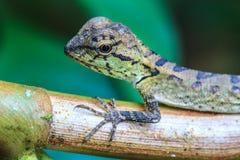 Zielona czubata jaszczurka, czarnej twarzy jaszczurka, drzewna jaszczurka Obrazy Stock