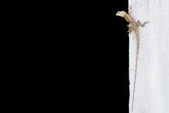 Zielona czubata jaszczurka na ścianie Fotografia Stock