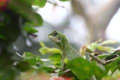Zielona czubata jaszczurka patrzeje dla jedzenia Zdjęcie Stock